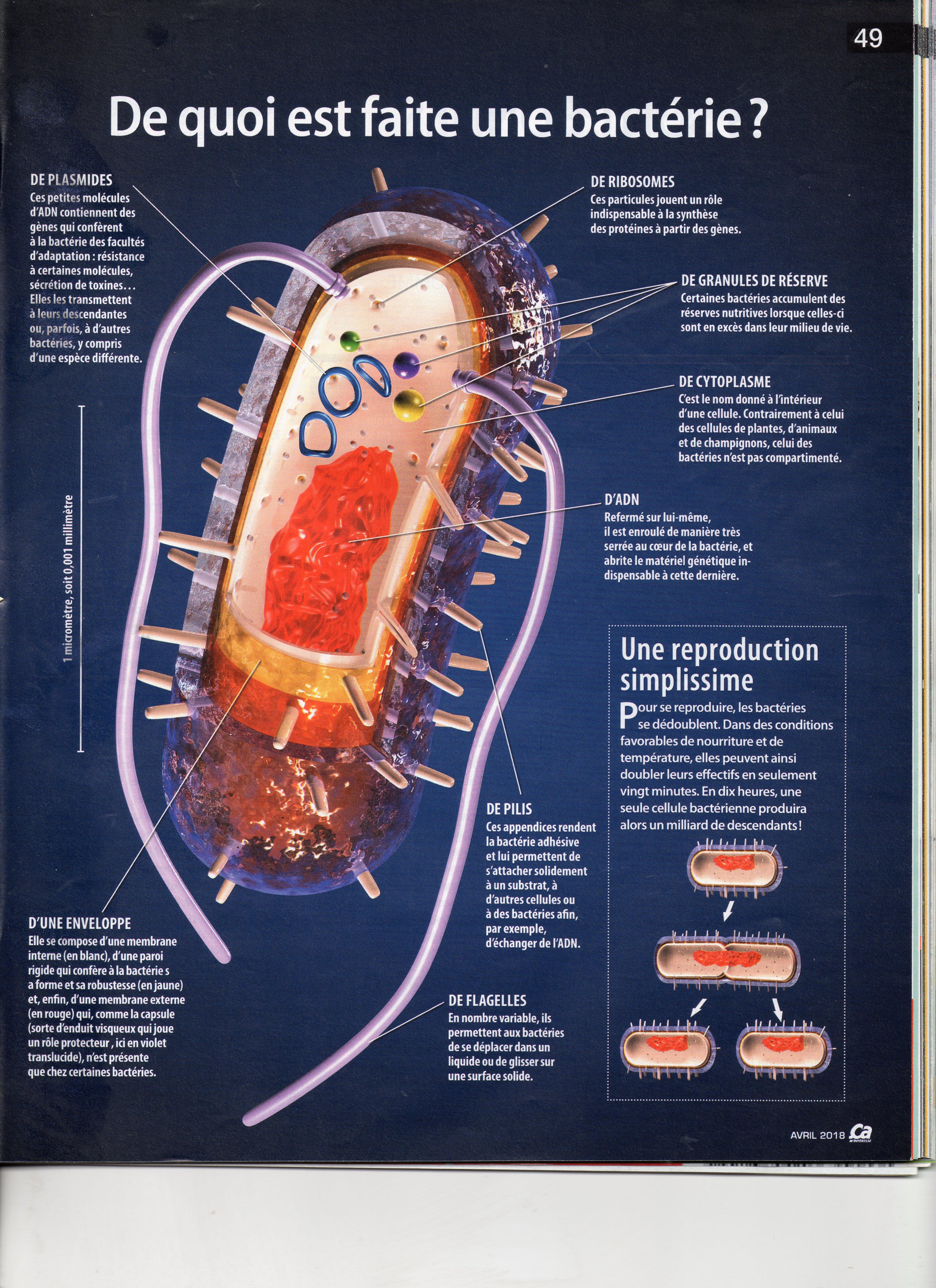 ... outre les mitochondries, on a encore le reticulum, le dictyosomer et  plastes chez les végétaux   elle est pourvue d une paroi cellulaire ... 50ab11478ef6